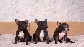 Portrait of three adorable french bulldog looking in one direction. Portrait of three adorable french bulldog looking in one direction stock video