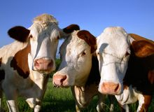 Portrait of three beautiful cows Royalty Free Stock Photo