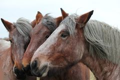 The heads of three brown craft horses macro. Portrait of three big brown craft horses closeup outdoor royalty free stock photo