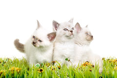 Portrait of three British Shorthair Kittens sitting, 8 weeks old, Royalty Free Stock Photography