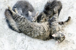 Portrait of three cats. The mother feeding her baby tabby and gr. Ey kitties looking up outdoor in nature life stock photos