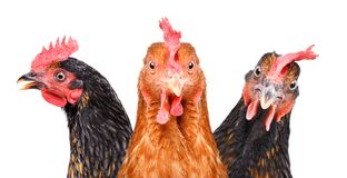 Portrait of  three chickens closeup. Portrait of  three chickens, closeup, isolated on white background royalty free stock photo