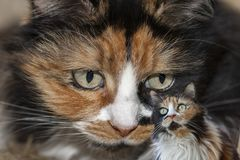 Portrait of a three-color cat Royalty Free Stock Images