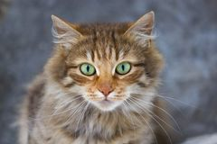 Portrait of a three-colored cat with green eyes royalty free stock photography