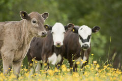 Portrait of three cows Royalty Free Stock Photo