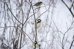 portrait of three cute birds Tits in the Park sitting on a branch Royalty Free Stock Photos