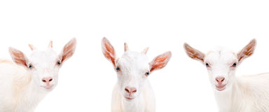 Portrait of three cute goat Stock Photo