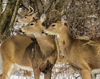 Side Profile Of Three Deer Looking Together In A Meadow royalty free stock photography