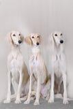 Portrait of three dog breeds Persian Greyhound Royalty Free Stock Photos
