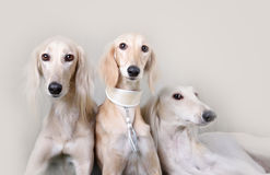 Portrait of three dog breeds Persian Greyhound Royalty Free Stock Photos