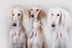 Portrait of three dog breeds Persian Greyhound Stock Photography