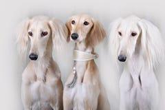Portrait of three dog breeds Persian Greyhound Stock Photography
