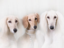 Portrait of three dog breeds Persian Greyhound. In white studio Royalty Free Stock Photography