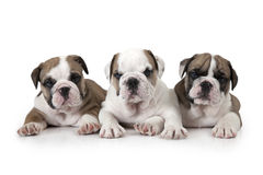Portrait of three English Bulldog puppies Stock Image