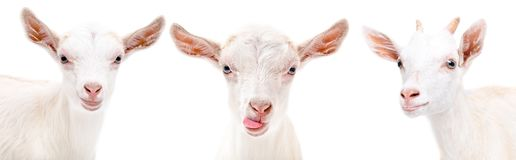 Portrait of a three funny goat. Isolated on white background stock photography