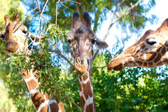 Portrait of three giraffes Royalty Free Stock Photos