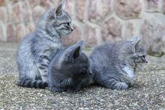Three grey cute kittens in the yard Stock Photography