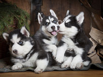 Portrait of three Husky puppies Royalty Free Stock Photos