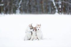 Portrait of a three husky puppies Stock Photos