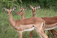 Portrait of three Impalas Stock Photo