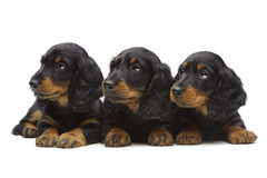 Portrait of three laying puppies of Dachshund. On white Stock Photos