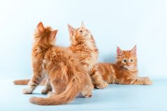 Portrait of three maine coon cat on blue Stock Photos