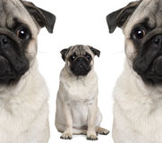 Portrait of three pug dogs sitting stock photos