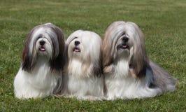 Portrait of three purebred Lhasa Apso Royalty Free Stock Photo