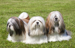 Portrait of three purebred Lhasa Apso stock images