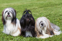 Portrait of three purebred Lhasa Apso  on green grass Stock Photography
