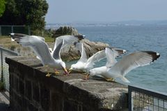 Portrait of three seagulls with open wings eating canned meat. On a wall near the sea Stock Image