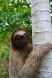 Portrait of three-toed sloth climbs on a tree Stock Photo
