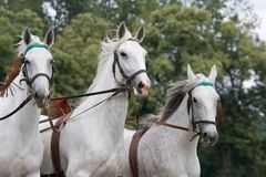 Portrait of three white running horses Stock Photography