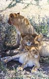 Portrait of three young lions, one sitting, two laying, all facing different directions stock photos