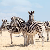 Portrait of three zebras. In Namibia national park Royalty Free Stock Photos