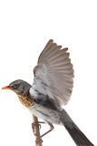 Portrait thrush. Thrush in flight (Turdus pilaris), isolated on white Stock Photography