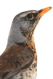 Portrait thrush Royalty Free Stock Photography