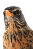 Portrait thrush. (Turdus pilaris), isolated on white Royalty Free Stock Photos