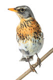 Portrait thrush Royalty Free Stock Images