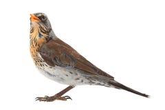Portrait thrush. Thrush  (Turdus pilaris), isolated on white Royalty Free Stock Image