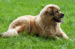 Tibetan dog in park sitting in the grass. Portrait of tibetan dog in park sitting in the grass Royalty Free Stock Images