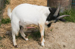 Portrait of tibetan goat showing her penis Royalty Free Stock Photography