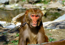 Portrait of Tibetan macaque Macaca thibetana on a leash. Monkey Forest Sanctuary in Wudang shan, China Royalty Free Stock Image