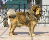Portrait of a Tibetan Mastiff. Portrait of a beautiful dog breed Tibetan Mastiff Royalty Free Stock Images