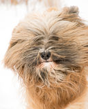 Portrait of a tibetan terrier dog Royalty Free Stock Photography