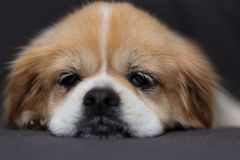 Tibetian spaniel face. Portrait of Tibetian spaniel laying on brown blanket stock photo