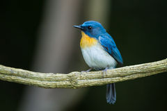 The portrait of Tickell's Blue Flycatcher Stock Image