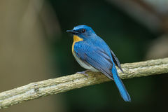 The portrait of Tickell's Blue Flycatcher Stock Images