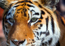 Portrait of  tiger Royalty Free Stock Image