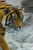 Portrait of tiger. Outdoors with rocky background Stock Images